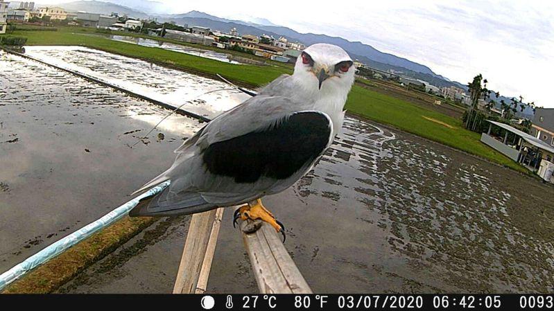 水保局透過自動相機拍到綁有衛星追蹤器的黑翅鳶,在霧峰友善田區棲架駐足。圖/水保局台中分局提供