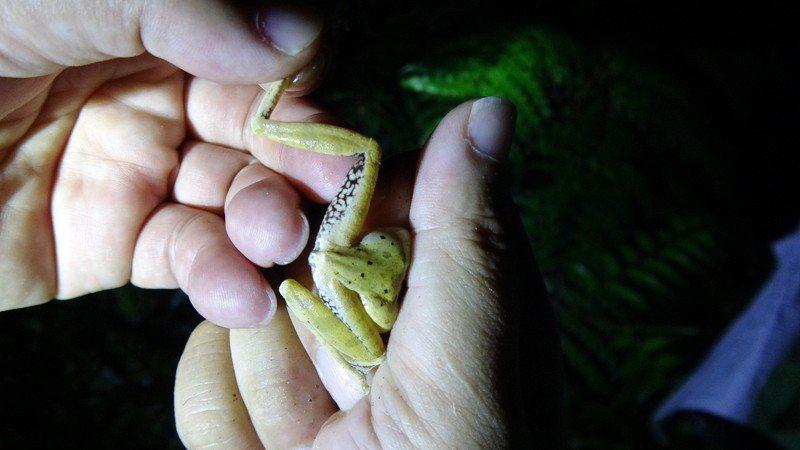 蛙調還捕捉外來種斑腿樹蛙,準備為園內的猛禽加好料。圖/台北市立動物園提供