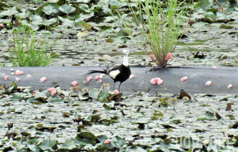 台南官田地區菱角田裡,可看到水雉爸爸帶著小水雉現蹤,令人驚喜。記者吳淑玲/攝影