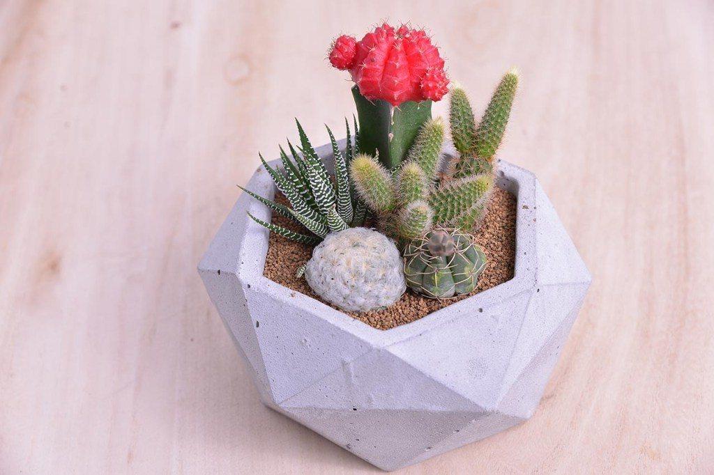 棒棒糖紅色系仙人掌搭配水泥灰盆器,呈現清新感。圖/有肉Succulent & G...