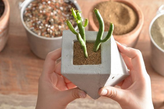 大戟科可愛的模樣相當討人喜歡。圖/有肉Succulent & Gift提供