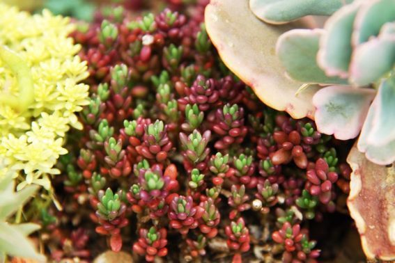 「姬松葉牡丹」冬天有個可愛的小名「紫米飯」。圖/有肉 Succulent & G...