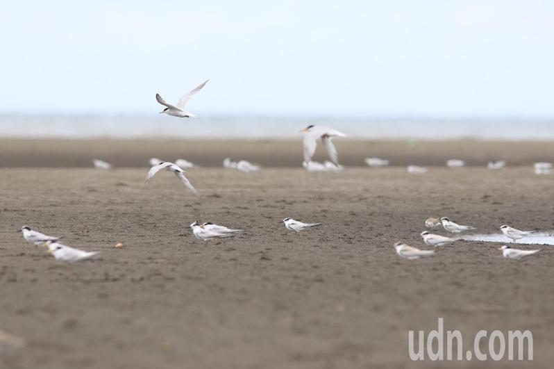 許厝港近期聚集大量保育類動物小燕鷗。記者曾健祐/攝影