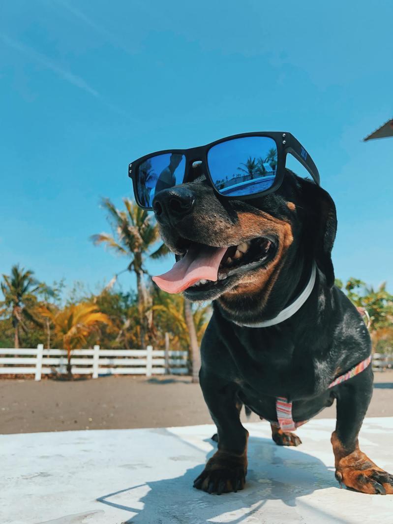 心臟病高風險群的高齡犬,切勿在海邊沙灘漫步或在柏油路上行走。圖/美國寵物食品協會提供