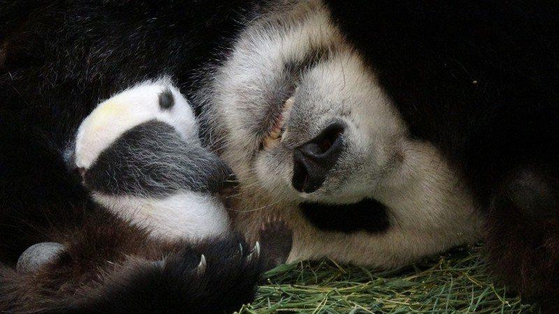 「圓圓」與「圓仔妹」吃飽喝足後,倆熊相依偎睡去。圖/台北市立動物園提供