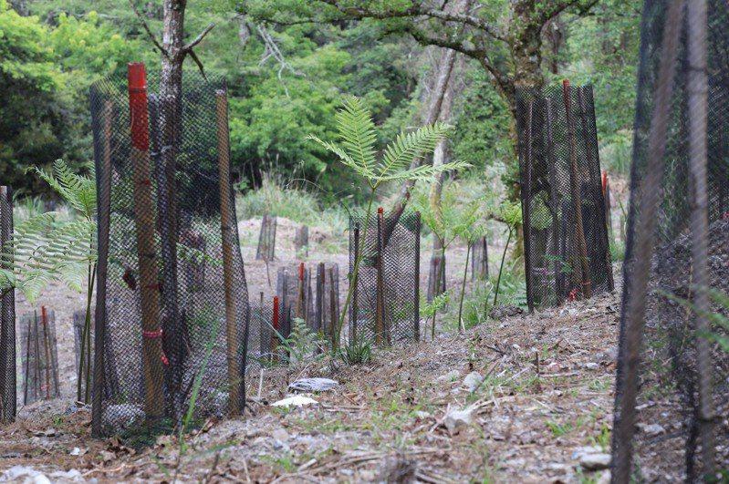 新竹林管處採台灣檫樹母樹種子育苗,苗木移造林地培育。圖/新竹林管處提供