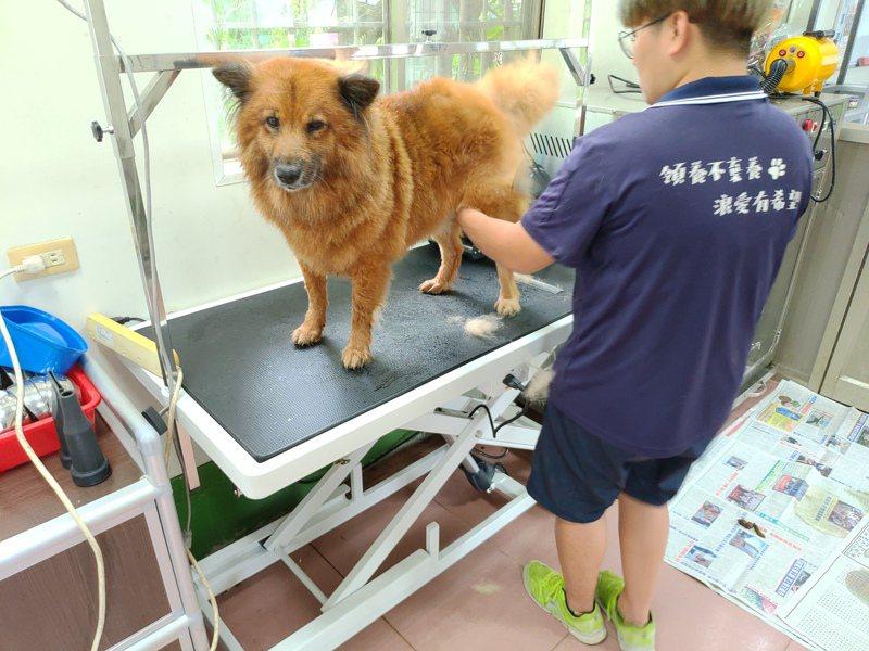 大型升降洗澡台讓大型犬隻不用靠人力,即可讓犬隻站上洗澡台,也讓犬隻有足夠空間站立而不感侷促。圖/屏東縣政府提供