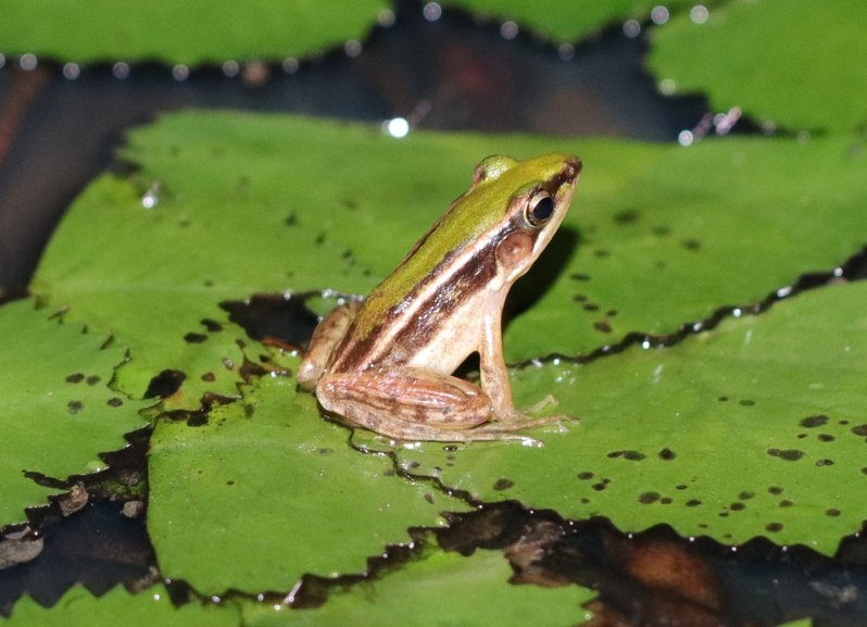 傳說中的「雷公蛙」就是台北赤蛙,傳說春雷過後,就有機會在水邊看到。圖/林務局羅東林區管理處提供