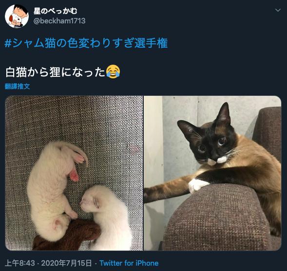 日本網友貼出家中暹羅貓「豆餡」的幼時照片和現在做對比。圖/Twitter