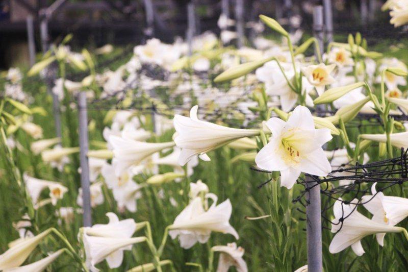 白石湖的同心池畔,盛開的百合花,像是一群小喇叭手。 圖/台北市大地處提供