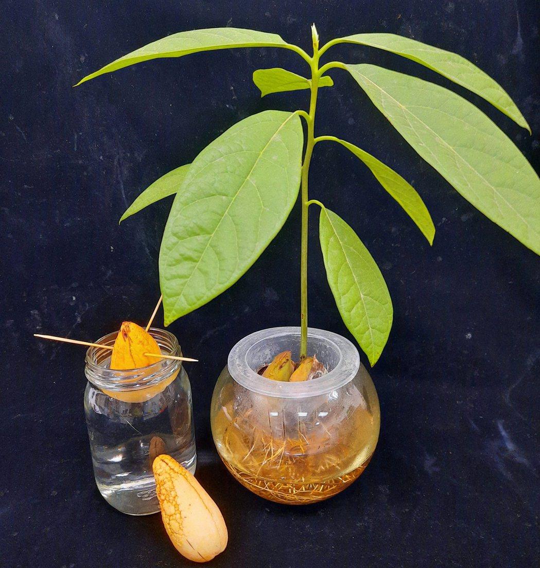 酪梨剩下的果實可以用來栽種當作觀賞盆栽。 圖片提供/食力