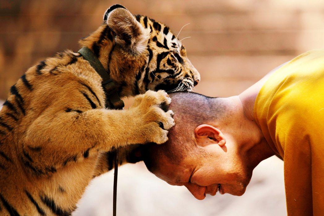 相較於野生老虎,目前全球人工豢養的老虎估計至少超過8,000隻,主要集中於中國及...