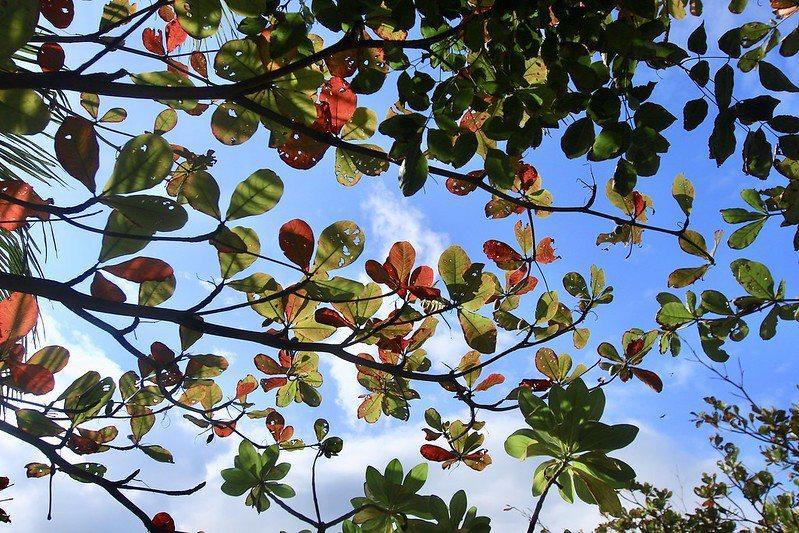 變色中的彩葉橄欖樹,望著天 ,有別於楓葉的另一種紅,東部的天空就這般的漂亮!