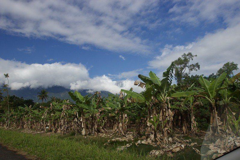 👣 行在花蓮的大馬路上 香蕉園到處都是 。