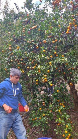 佐將爺爺親自前往果園採收酸桔。 圖/葉怡妘提供
