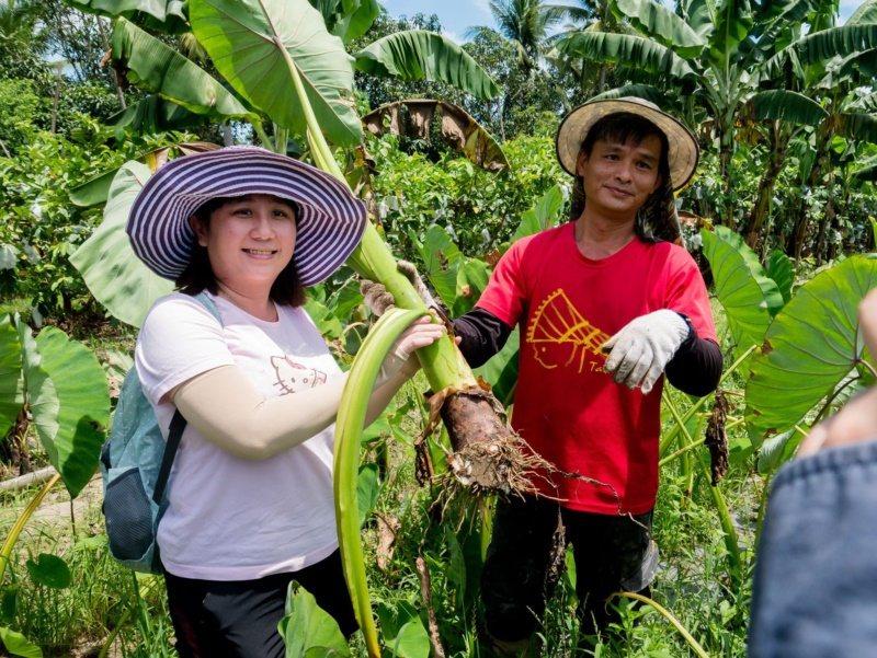 到高雄杉林區「築夢新故鄉」 ,可挖新鮮芋頭。 圖/高雄市農業局提供