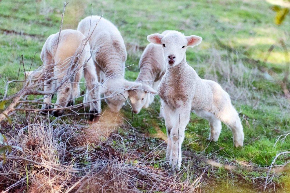 綿羊成為Fetzer Vineyards永續計畫的有力夥伴,幫忙除雜草,排泄物還...