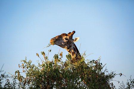 圖說:長頸鹿屬於哺乳動物偶蹄目,是世界上最高的哺乳動物(照片/美國國家地理會社提供)