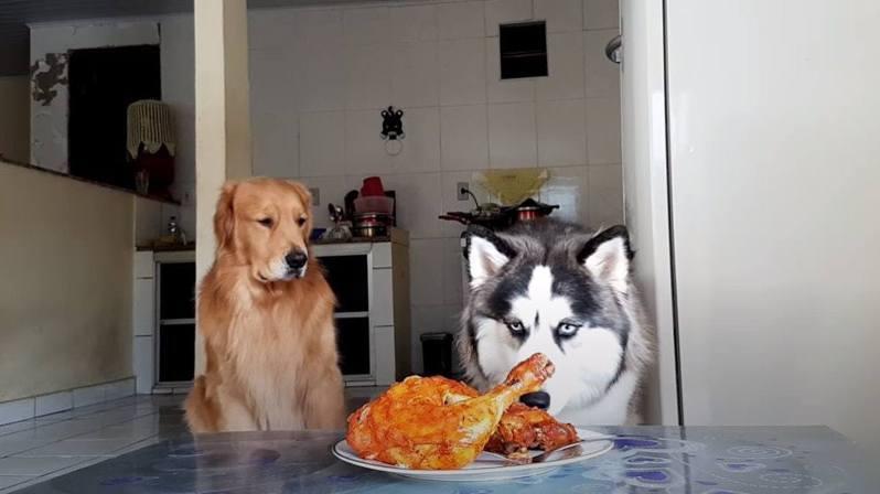 國外一主人留下一盤烤雞,在離開之前還多次叮囑哈士奇和金毛「不准偷吃」。圖取自youtube