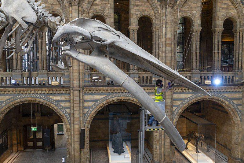 7月27日,工作人員在英國倫敦的自然歷史博物館大廳內清潔一具藍鯨骨架。受新冠疫情影響關閉數月的英國自然歷史博物館將於8月5日重新對外開放,目前館方正在為重新開放做最後準備。參觀者需要提前預約參觀時段、全程佩戴口罩且保持安全距離。 新華社