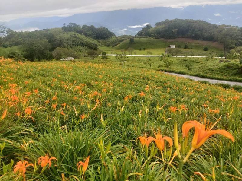 花蓮南區赤科山、六十石山的金針花季,今起開跑,上山將有交通管制。圖/赤科山李姓農友提供