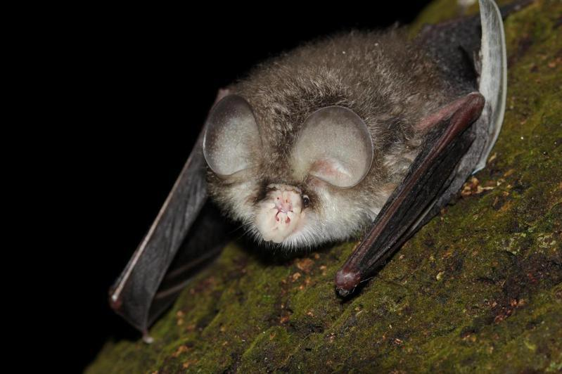 台灣無尾葉鼻蝠。圖/何英毅攝影、太管處提供