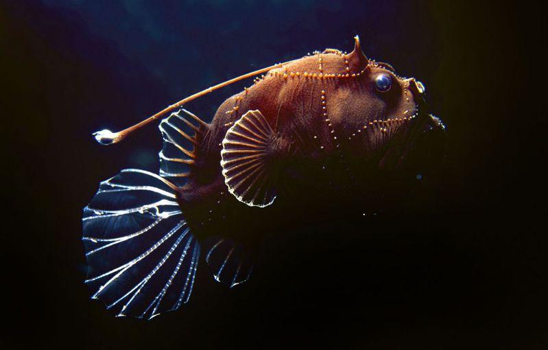 部分鮟鱇魚種會行生殖寄生。 法新社