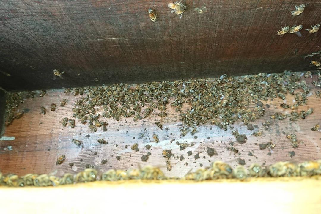 平鎮蜜蜂集體死亡 農業局:與登革熱消毒無直接關係