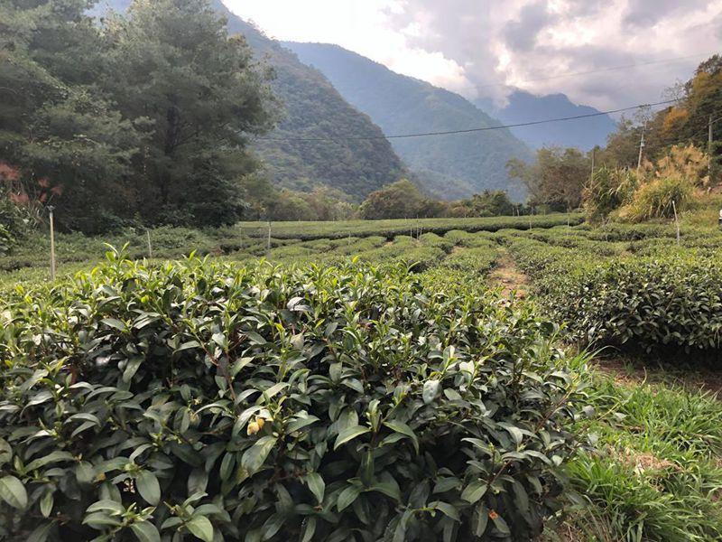 目前正值仁愛鄉秋茶採收季節,農民擔心颱風季道路受損影響採收。記者江良誠/攝影
