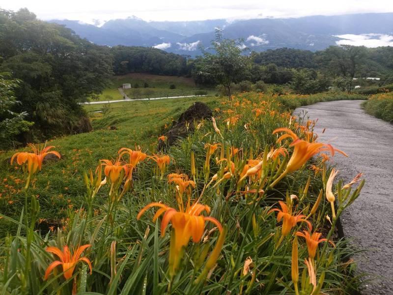 花蓮南區赤科山、六十石山金針花季昨起開跑,上山將有交通管制。圖/赤科山李姓農友提供