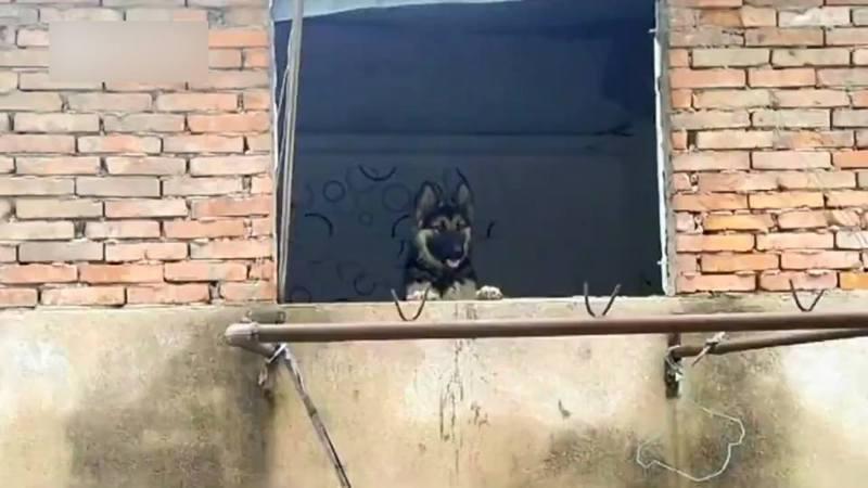 德國牧羊犬被遺棄在一棟將拆卸的大樓,每天在窗邊等主人回去。(微博影片截圖)