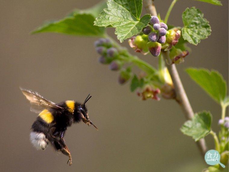 氣候變遷擾亂了開花期,也影響了蜜蜂等授粉媒介的採食行為。 圖片提供/食力