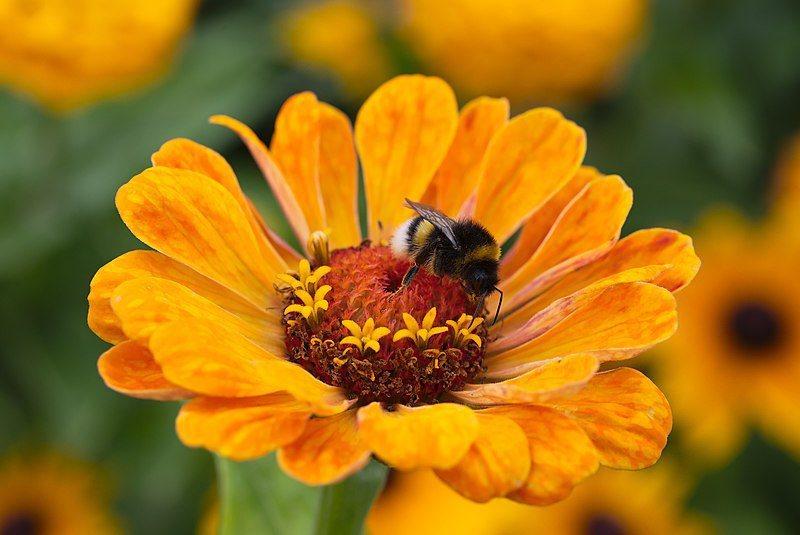 熊蜂屬於蜜蜂科的其中一類,但與一般蜜蜂(Honey bee)有很多不同,例如後腳...