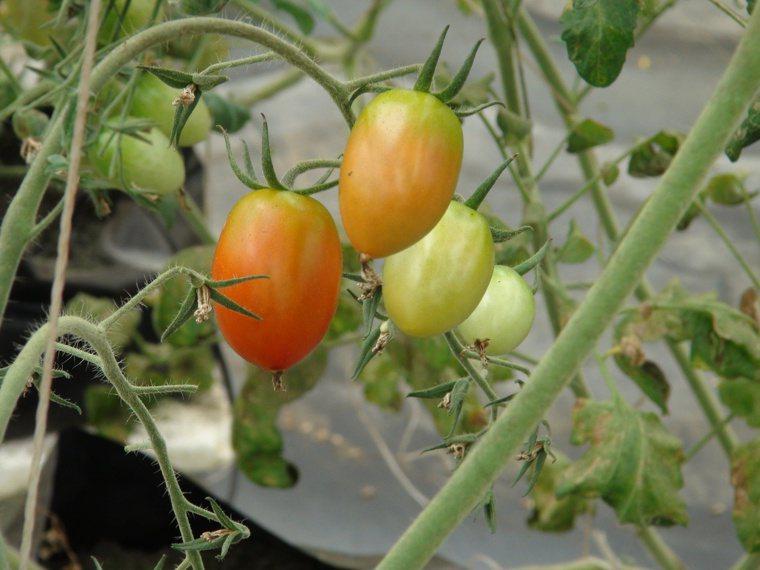 黃明發研發種植低鉀小番茄。記者余采瀅/攝影