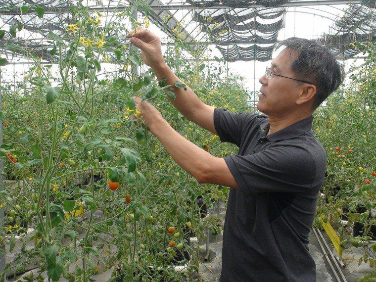 擔任藥師的55歲黃明發,因許多腎臟病患者無法食用高鉀食物,在台中市新社區研發栽種...