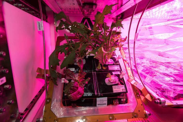 國際太空站中的NASA專家們順利種植出太空蔬菜,可供太空人食用。 圖片提供/食力