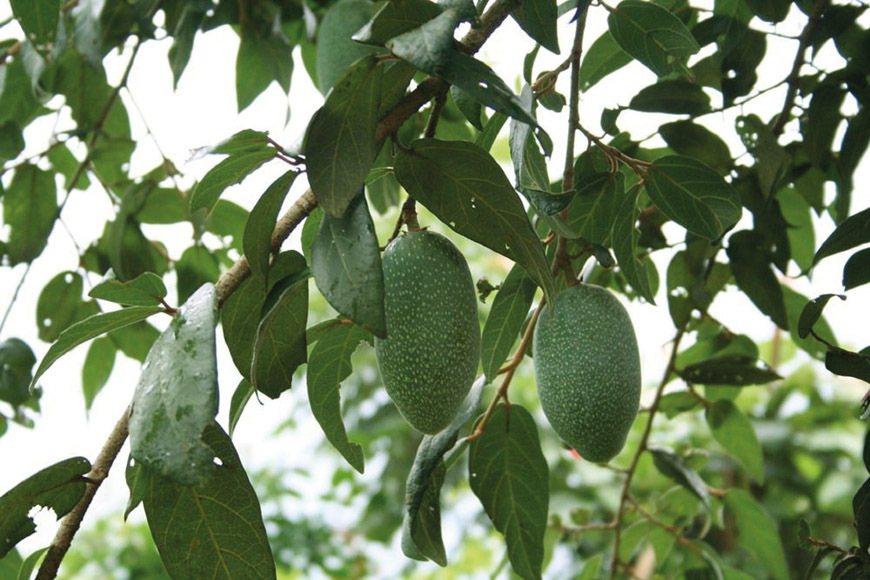 你看過愛玉長在樹上的樣子嗎?圖為綠底白點的愛玉果實。 圖/廖金英提供