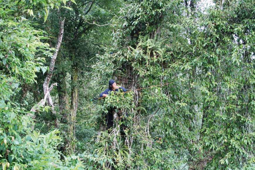 圖為高山愛玉採收方式,背著尾端綁刀片的釣魚竿爬上數十公尺的樹後,近處的愛玉果實直...