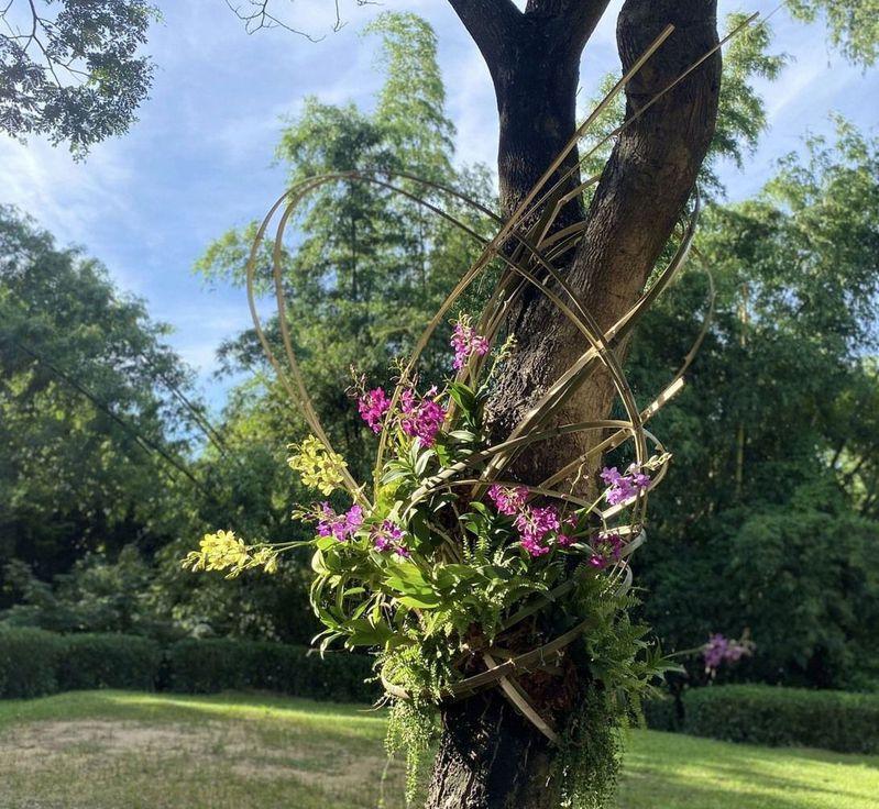 高雄大坪頂熱帶植物園區的秋石斛蘭,結合天然美竹纏繞,呈現唯美的視覺饗宴。圖/高雄市養工處提供