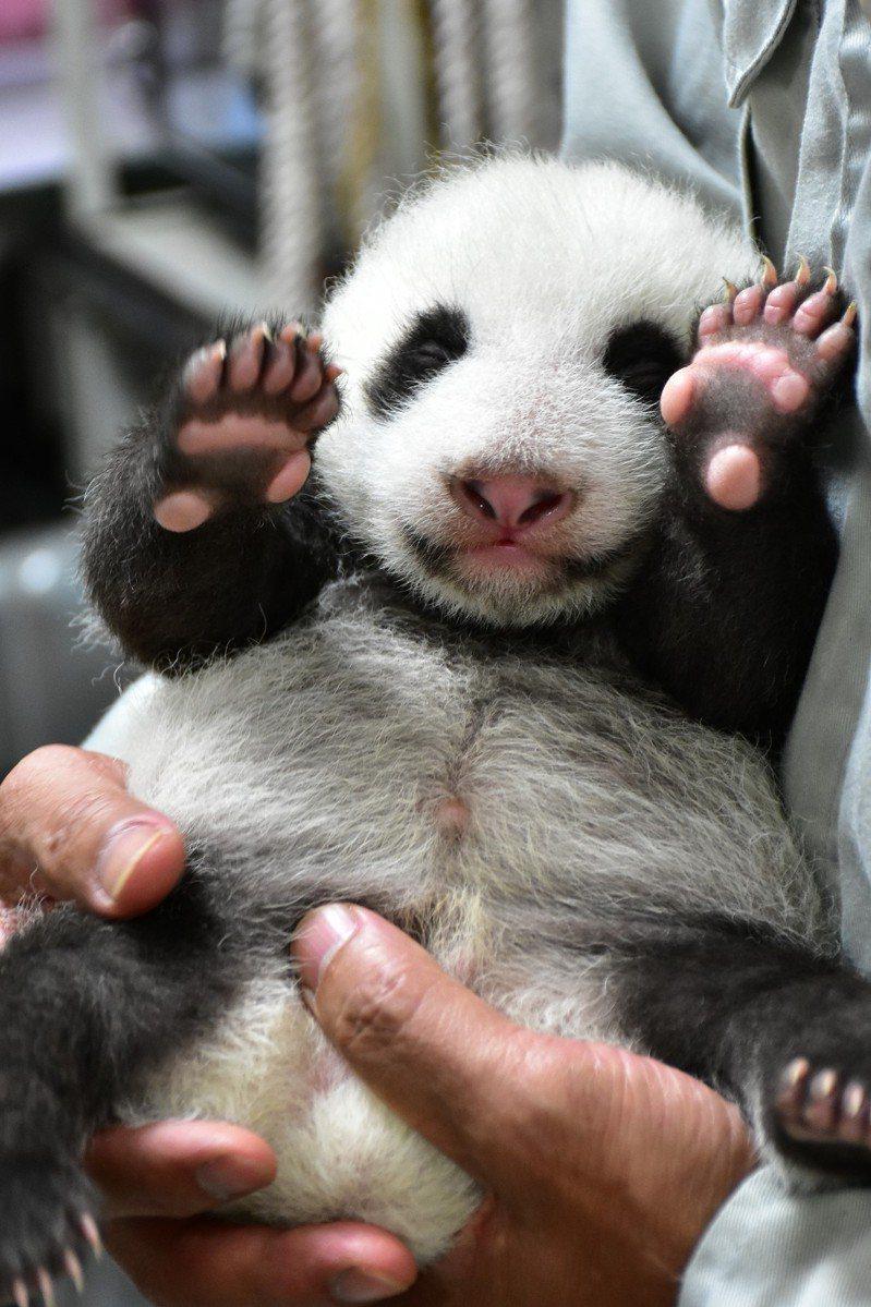 「圓仔妹」體重破2公斤,保育員要雙手捧起,才能替貓熊寶寶量體重。