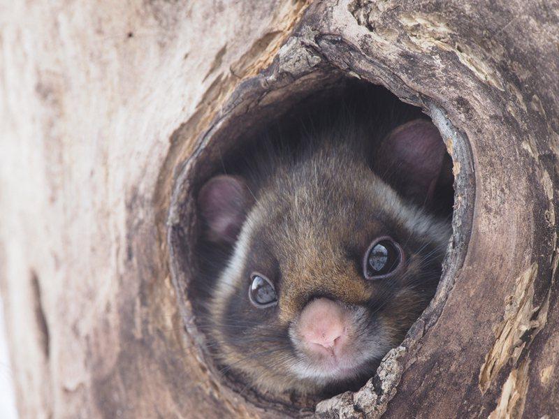 Picchio是一個非營利組織,在專業人士帶領之下,有九成機會可以讓遊客看到飛鼠...