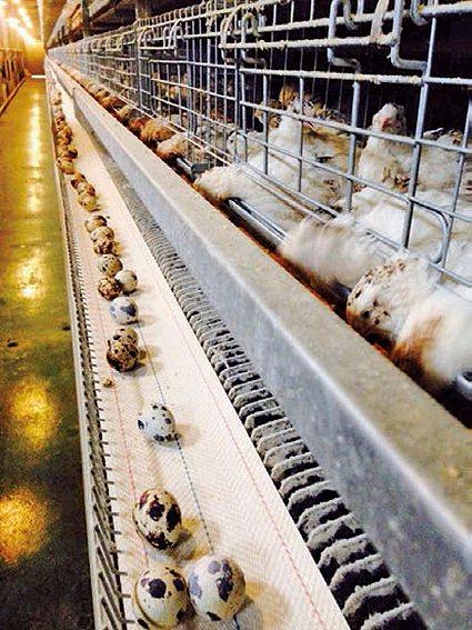 富山香檳雞飼養牧場。 農科院/提供