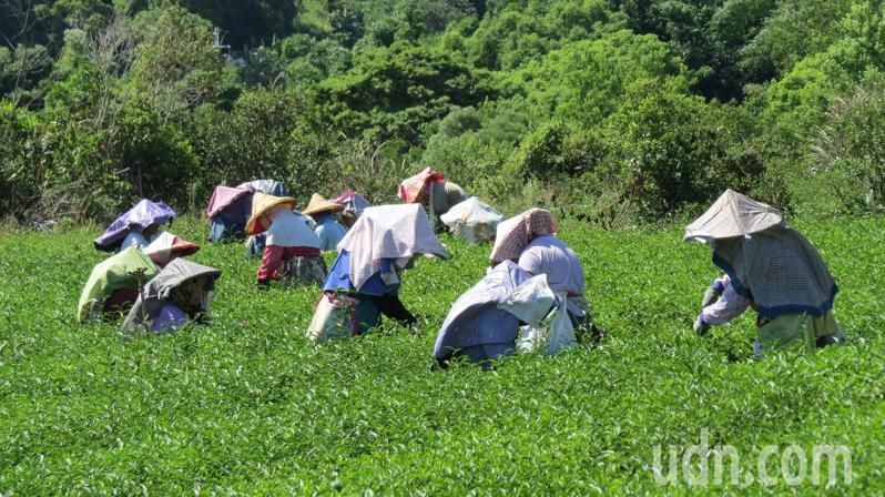 首屆「貓裏紅」製茶技術訓練研習與競賽,今天起2天在苗栗市八甲茶區登場,現採茶菁供比賽。記者范榮達/攝影