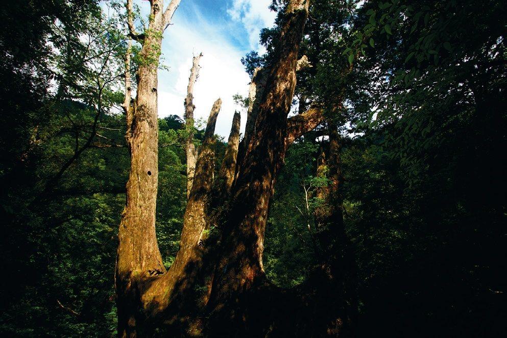 台灣檜木。 圖/柯焜耀提供