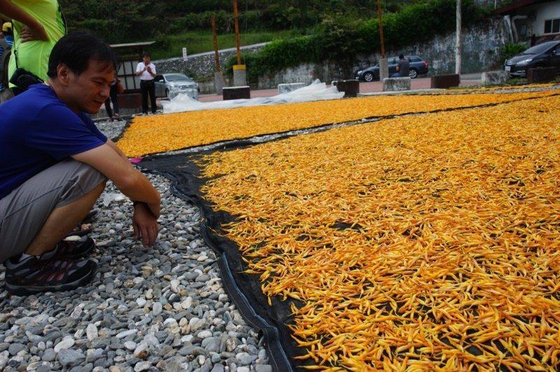 花蓮南區的富里鄉、玉里鎮種植大片金針花,花季期間,也可看到農民忙著曬金針。 圖/...