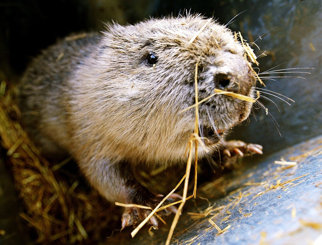 河狸(beaver)因擅長以樹木枯枝修築溪流水壩,而有「大自然水壩工程師」之稱。...