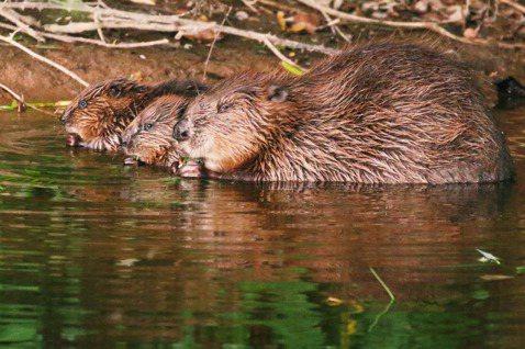 圖為英格蘭德文郡(Devon)東部奧特河(Otter River)的河狸一家。 ...