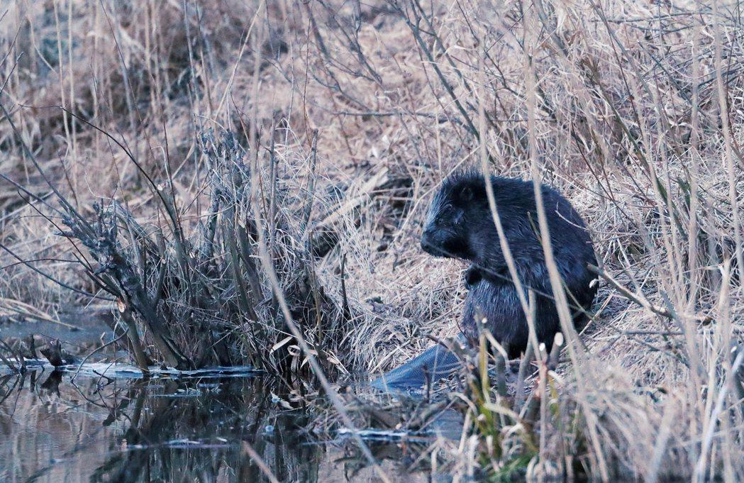 圖為在波蘭野外出沒的河狸。 圖/路透社