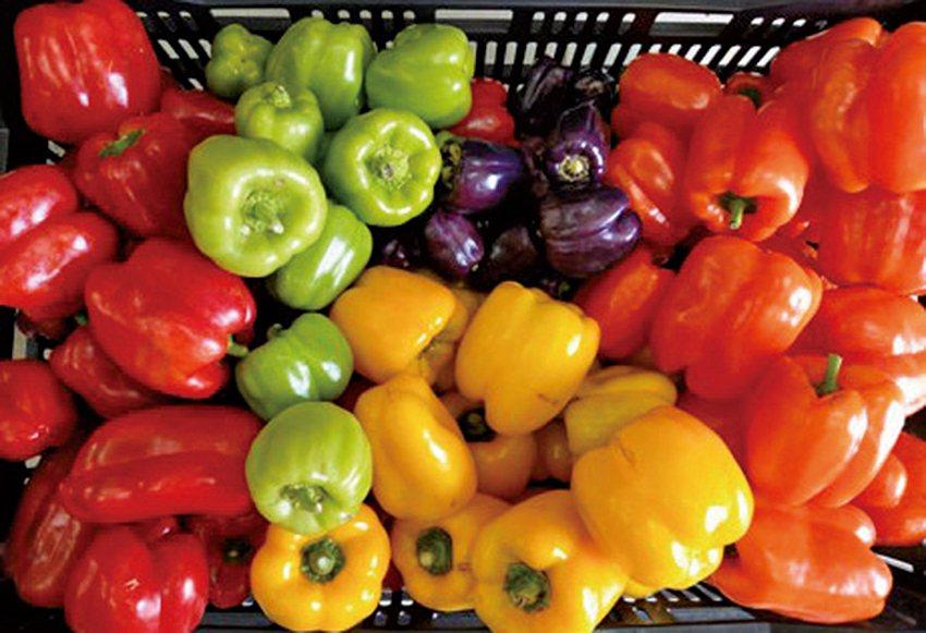彩椒採用IPM栽培,蔬果商品色彩亮麗。 農科院/提供