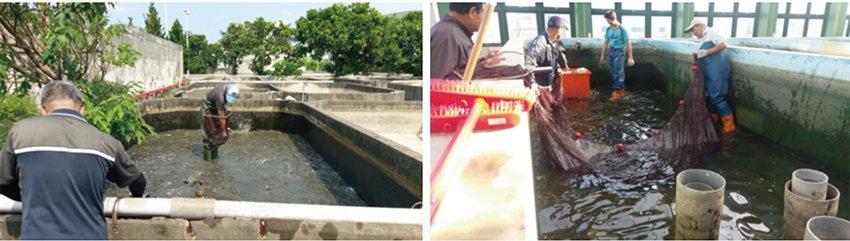 該公司於鹿港分所挑選種魚(左),魚苗孵化與捕撈(右)。 農科院/提供